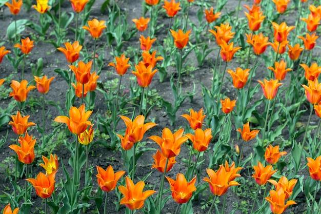 Schöner orange tulpenblumenbeetabschluß oben.