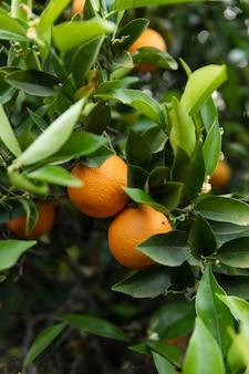 Schöner orangenbaum mit reifen früchten