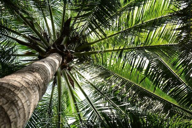 Schöner palmenkokosnussbaum als hintergrund