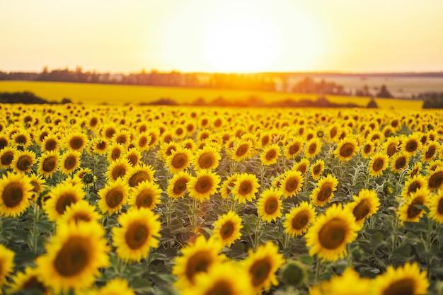 Schöner panoramablick auf ein feld von sonnenblumen im licht der untergehenden sonne. gelbe sonnenblume schließen.
