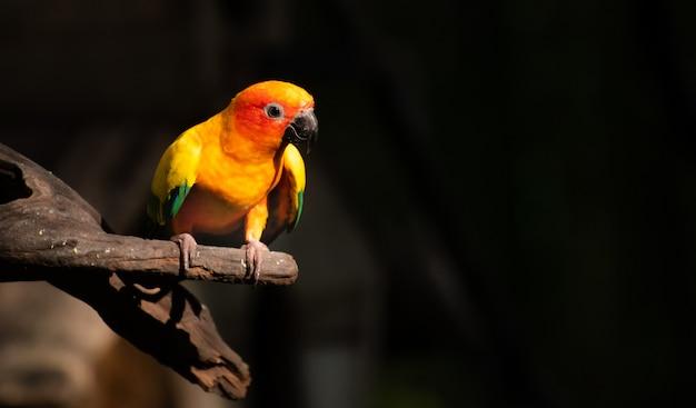 Schöner papagei, sun conure auf baumast