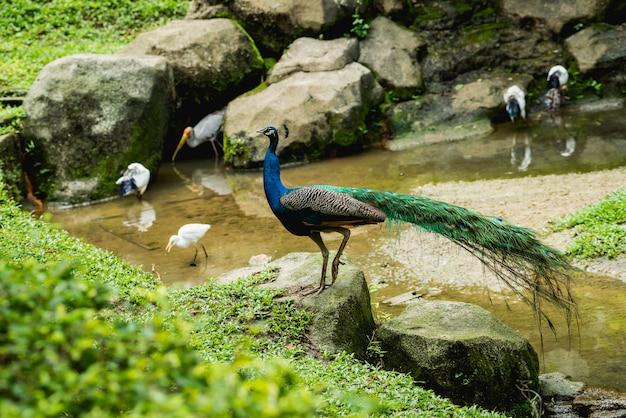 Schöner pfau mit ausgebreiteten flügeln. zoo, tropisches reservat