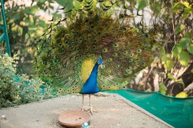 Schöner pfau. pfau zeigt seinen schwanz, pfau mit ausgebreiteten flügeln im profil.