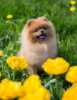 Schöner pommerscher hund in einem park
