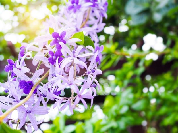 Schöner purpurroter kranzblumenblumenstrauß mit petrea-volubilis blume im garten.