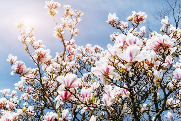 Schöner rosa frühling blüht magnolie
