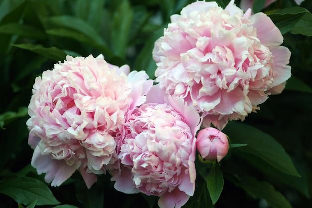 Schöner rosa pfingstrosenhintergrund im vintage-stil. schöne blumen, pfingstrosen. ein blumenstrauß des rosa pfandhintergrundes. üppige blütenblätter von weiß-rosa pfingstrose, nahaufnahme. rosafarbene pfingstrosen, unschärfe, weichzeichner,