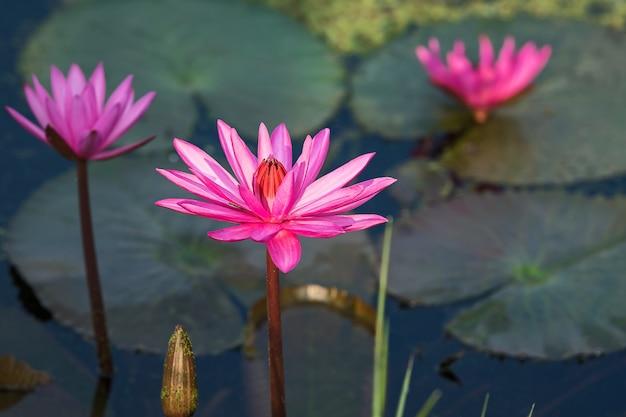 Schöner rosafarbener lotos.