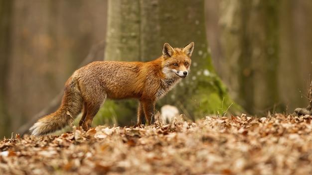 Schöner roter fuchs mit flauschigem fell, das im trockenen laub im buchenwald aufwirft