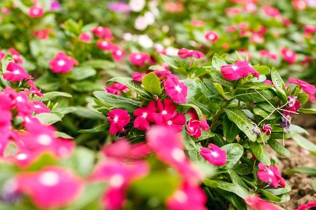 Schöner roter vinca blüht in einem garten an der sommertagesnahaufnahme.