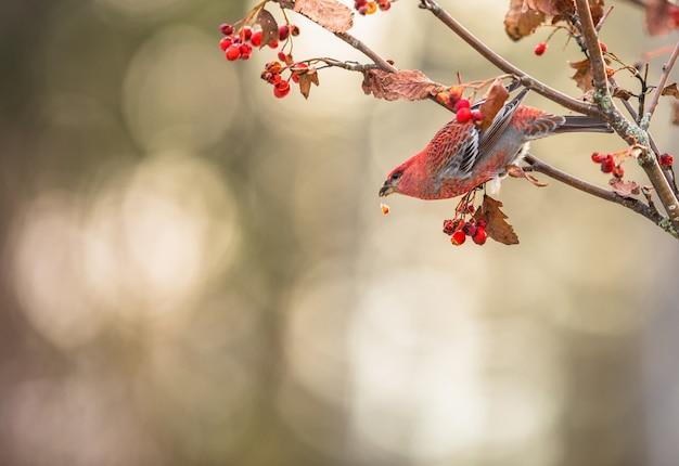 Schöner roter vogel mit kopienraum. kiefernkernschnabel, pinicola-enukleator, rote beeren des männlichen vogels, christmastkarte