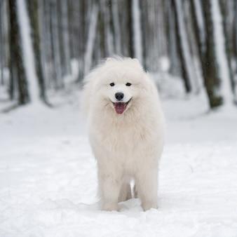 Schöner samojede weißer hund sitzt im winterwald, carnikova in der ostsee