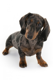 Schöner schauender hund, miniaturdachshund