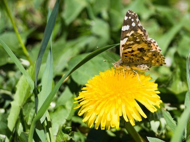 Schöner schmetterling, der auf gelber löwenzahnblume sitzt. wilder naturhintergrund
