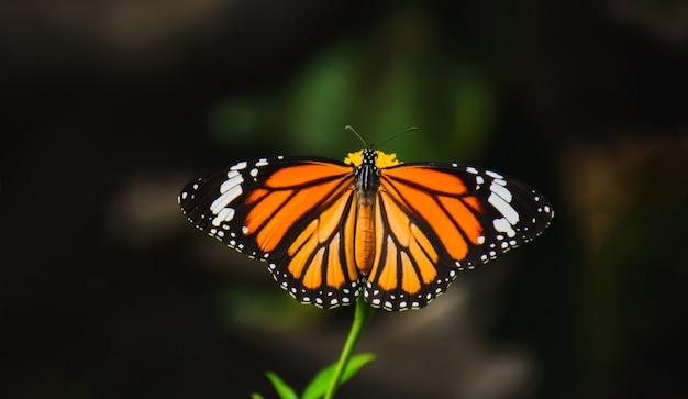 Schöner schmetterling, der nektar von helle gelbe blumenstaubblätter saugt.