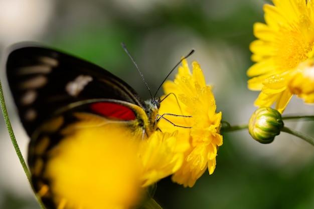 Schöner schmetterling, der süßes wasser von den gelben blumen saugt