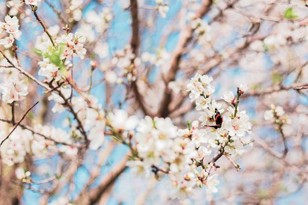 Schöner schmetterling in mandelblumen im baum mit blauem himmel hinter während des frühlings