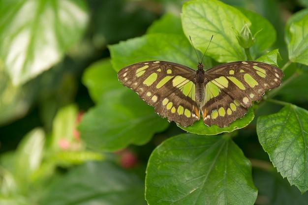Schöner schmetterling, insekt auf grünem naturhintergrund, fotografiert am schmetterlingshaus,