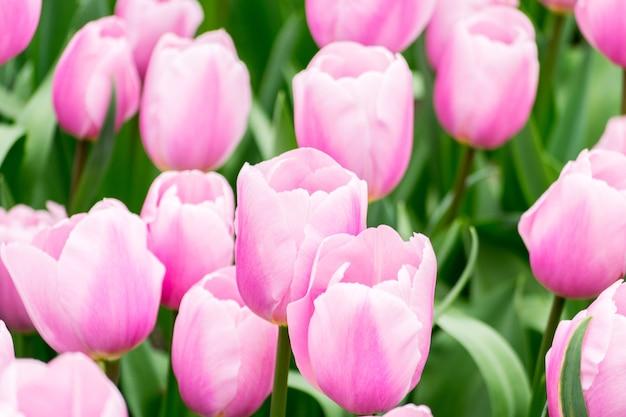 Schöner schuss der bunten tulpen im feld an einem sonnigen tag - perfekt für hintergrund