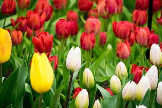 Schöner schuss der bunten tulpen im feld an einem sonnigen tag