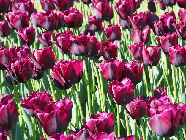 Schöner schuss der hypnotisierenden tulipa sprengeri blühenden pflanzen in der mitte des feldes