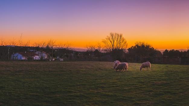 Schöner schuss der schafe, die in den grünen feldern während des sonnenuntergangs grasen