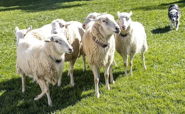 Schöner schuss der schafe und eines hundes auf dem gras im feld an einem sonnigen tag