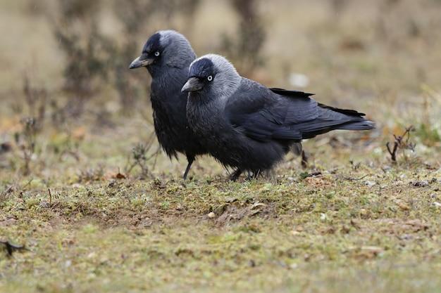 Schöner schuss der seitenansicht der westlichen dohle-vögel in einem feld