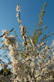 Schöner schuss der weißen blumen eines blühenden baumes mit dem blauen himmel