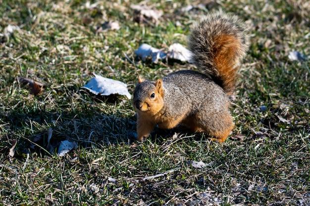 Schöner schuss des braunen eichhörnchens im wald