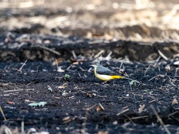 Schöner schuss des grauen bachstelzenvogels auf dem boden im feld in japan