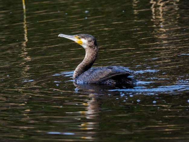 Schöner schuss des japanischen kormorans, der auf dem see schwimmt