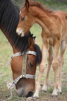 Schöner schuss des mutterpferdes und des babypferdes im feld