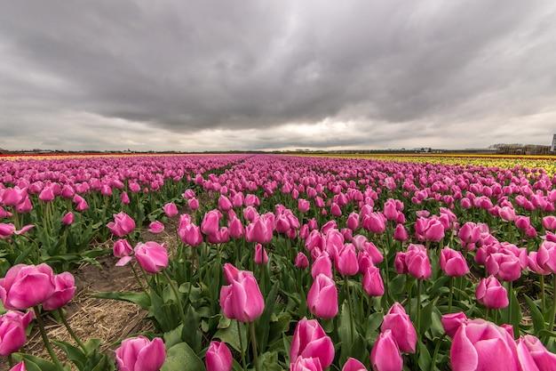 Schöner schuss des rosa blumenfeldes unter einem bewölkten himmel