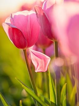 Schöner schuss des rosa tulpenfeldes