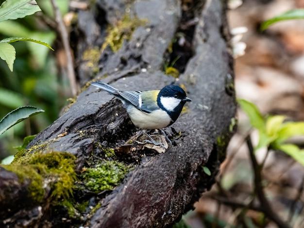 Schöner schuss ein japanischer meisenvogel, der auf einem holzbrett in einem wald in yamato, japan steht