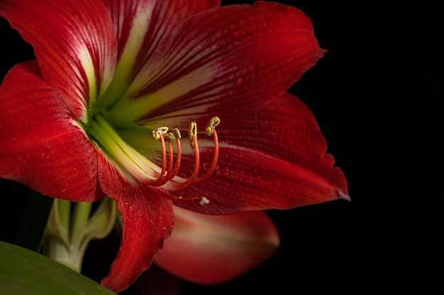 Schöner schuss einer blühenden roten lilienblume lokalisiert auf einem schwarzen hintergrund