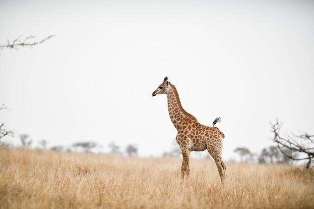 Schöner schuss einer giraffe im savannenfeld