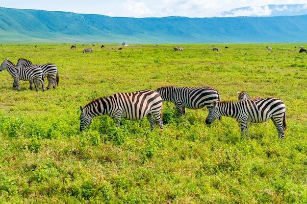 Schöner schuss einer herde von zebras, die auf dem feld suchen