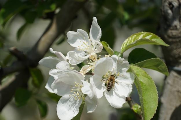 Schöner schuss einer honigbiene auf einer weißen blume