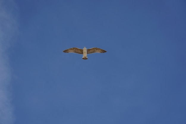 Schöner schuss einer möwe, die während des tages in einem klaren blauen himmel fliegt