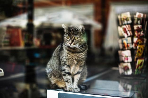 Schöner schuss einer niedlichen grauen katze hinter dem fenster eines geschäfts, das in posen, polen gefangen genommen wird