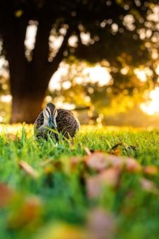 Schöner schuss einer niedlichen stockente, die auf einem gras geht