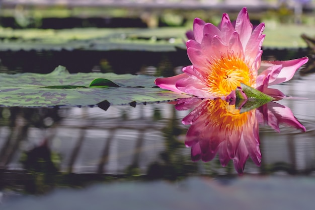 Schöner schuss einer rosa blume, die auf wasser fließt