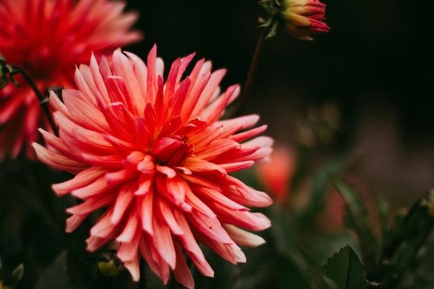 Schöner schuss einer rosa blume im garten