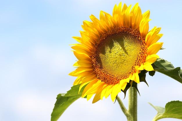Schöner schuss einer sonnenblume im feld mit dem blauen himmel im hintergrund an einem sonnigen tag