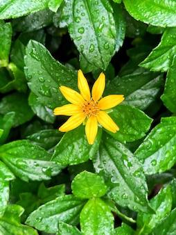Schöner schuss einer waldsonnenblume, die blüht