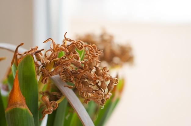 Schöner schuss einer zimmerpflanze mit weißen blumen nahe dem fenster
