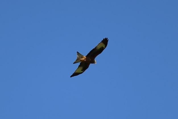 Schöner schuss eines adlers, der auf einem blauen himmel fliegt