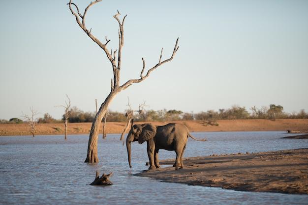 Schöner schuss eines afrikanischen elefanten, der auf dem see steht